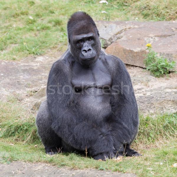 Ezüst férfi gorilla élvezi hegy fekete Stock fotó © michaklootwijk