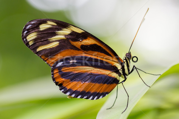 Large butterfly Stock photo © michaklootwijk