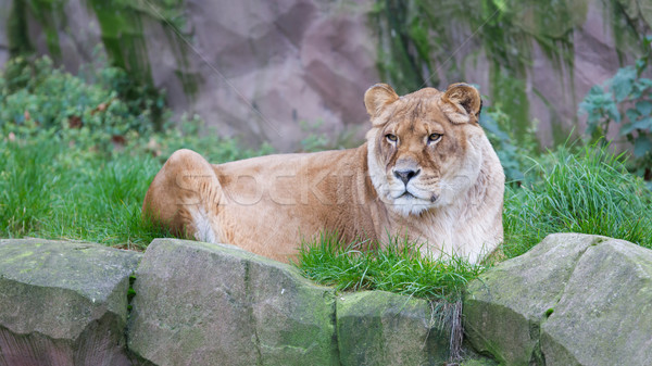 Lion resting in the green grass  Stock photo © michaklootwijk