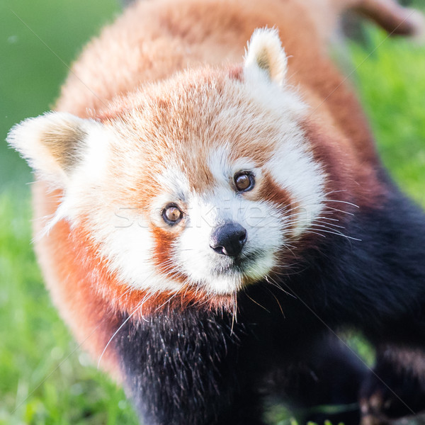 The Red Panda, Firefox or Lesser Panda Stock photo © michaklootwijk