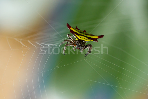 Horned spider (Gasteracantha doriae) in it's web Stock photo © michaklootwijk