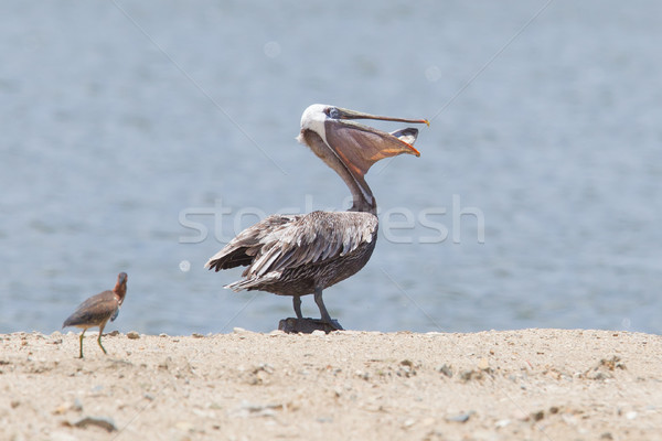 Brown pelican (Pelecanus occidentalis) with a fish in its pouch Stock photo © michaklootwijk