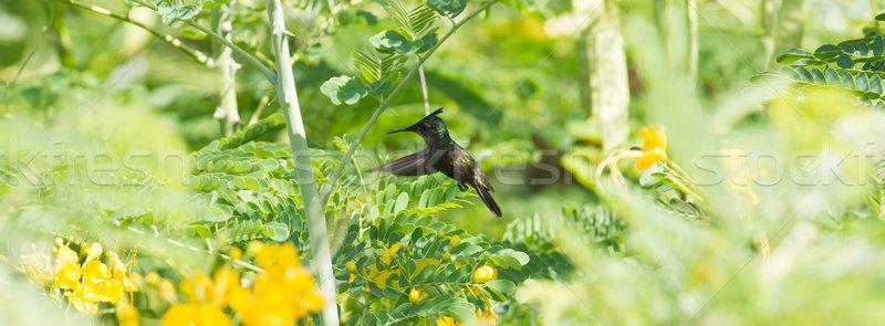Antillean Crested Hummingbird (Orthorhyncus cristatus) Stock photo © michaklootwijk
