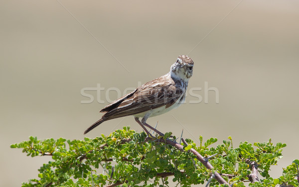 Small bird perched on a dry branch in Etosha Stock photo © michaklootwijk