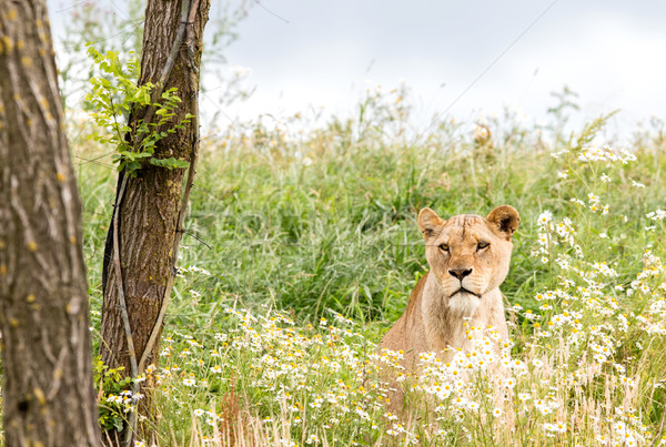 Сток-фото: женщины · лев · свежие · природы · зеленый
