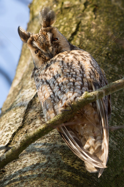 A sleeping long-eared owl Stock photo © michaklootwijk