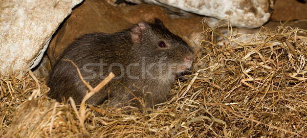 An eating wild guinea pig Stock photo © michaklootwijk