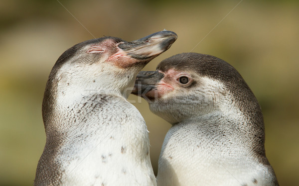 Close-up of a humboldt penguin Stock photo © michaklootwijk