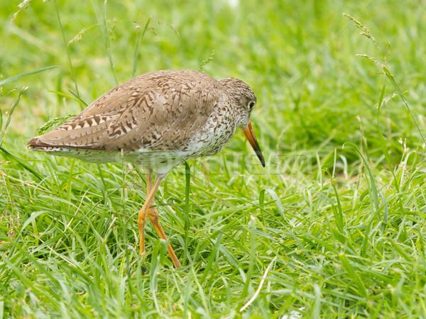 Redshank in the grass Stock photo © michaklootwijk