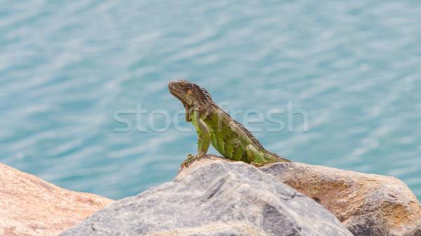 Green Iguana (Iguana iguana) sitting on rocks Stock photo © michaklootwijk