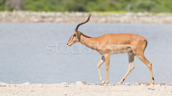 Male black-faced impala (Aepyceros melampus petersi) Stock photo © michaklootwijk