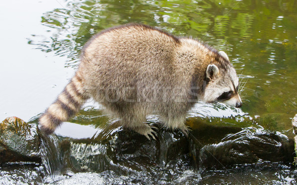 Adult raccoon at a small stream Stock photo © michaklootwijk