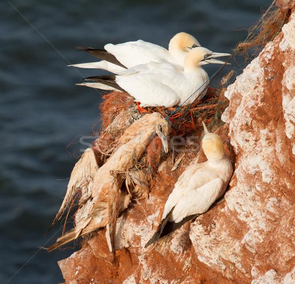 A deceased gannet Stock photo © michaklootwijk