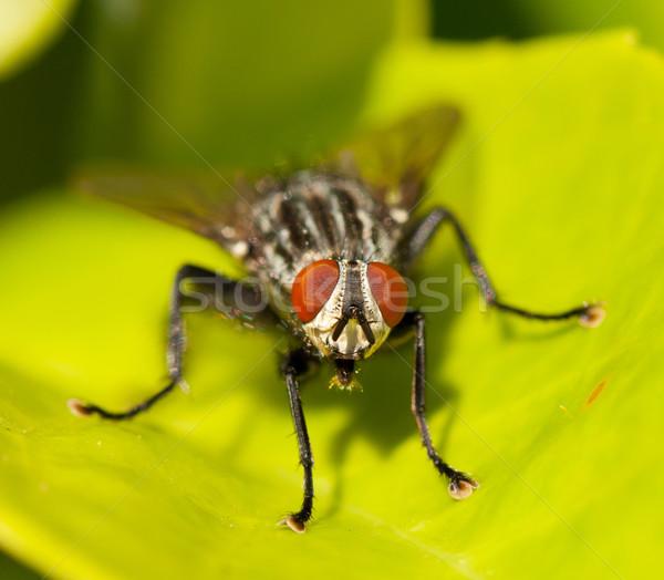 A housefly Stock photo © michaklootwijk