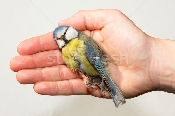 A deceased blue tit Stock photo © michaklootwijk