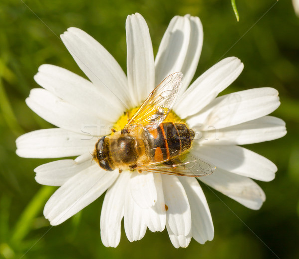 Légy iszik nektár vad fehér virág természetes Stock fotó © michaklootwijk