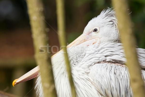 Pink-backed Pelican - Pelecanus rufescens Stock photo © michaklootwijk