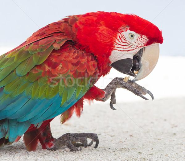 Renkli papağan esaret hayvanat bahçesi caribbean kuş Stok fotoğraf © michaklootwijk