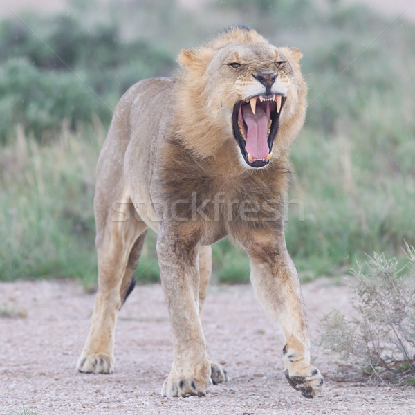 Lion walking on the rainy plains of Etosha Stock photo © michaklootwijk