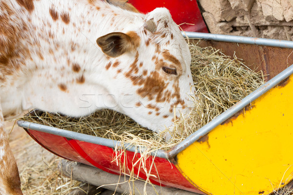 Close up of cow eating hay Stock photo © michaklootwijk