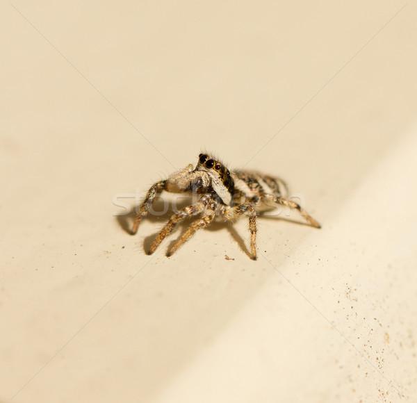 Salticus scenicus jumping spider Stock photo © michaklootwijk
