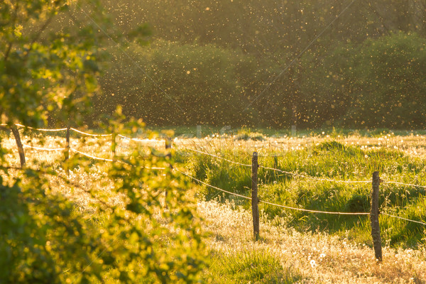 Swarm of Mosquitos over a green field Stock photo © michaklootwijk