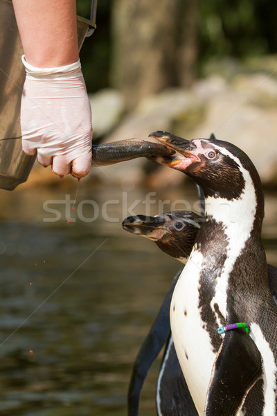 A pinguin is being fed Stock photo © michaklootwijk