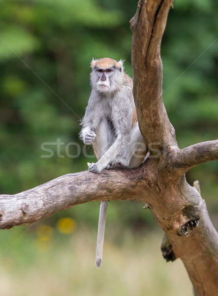 Patas monkey (Erythrocebus patas Stock photo © michaklootwijk