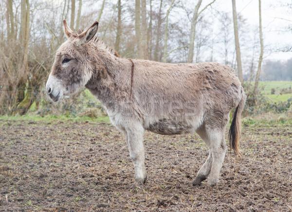 Donkey in the field Stock photo © michaklootwijk