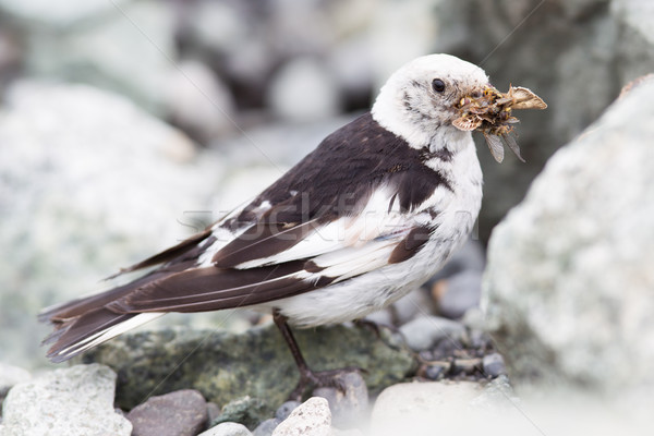 Snow Bunting, Plectrophenax nivalis in breeding plumage, Iceland Stock photo © michaklootwijk