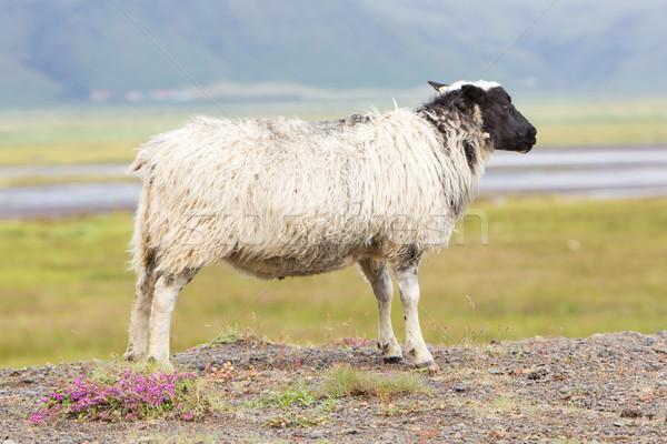 Single Icelandic sheep Stock photo © michaklootwijk