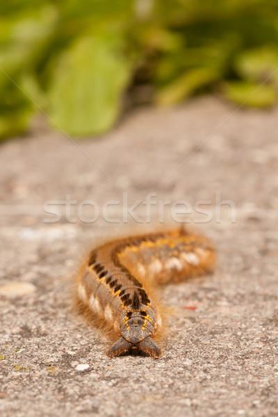 A caterpillar Stock photo © michaklootwijk