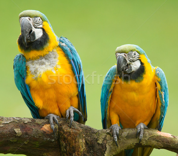 Close-up of two macaw parrots Stock photo © michaklootwijk