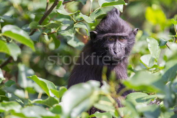 Young Celebes crested Macaque Stock photo © michaklootwijk