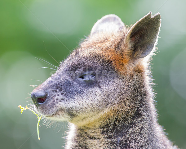 Kangaroo: Wallaby close-up portrait Stock photo © michaklootwijk