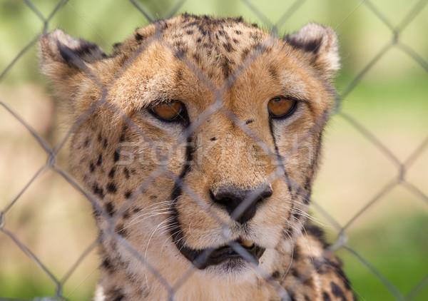 çita esaret arkasında çit Namibya çim Stok fotoğraf © michaklootwijk
