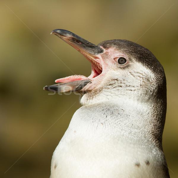 Close-up of a humboldt penguin Stock photo © michaklootwijk