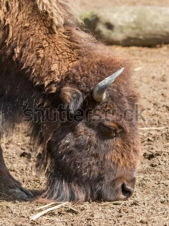 Stok fotoğraf: Amerikan · bizon · hollanda · hayvanat · bahçesi · yaz · açık · havada