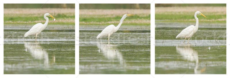 Great Egret / White Heron photo series Stock photo © michaklootwijk