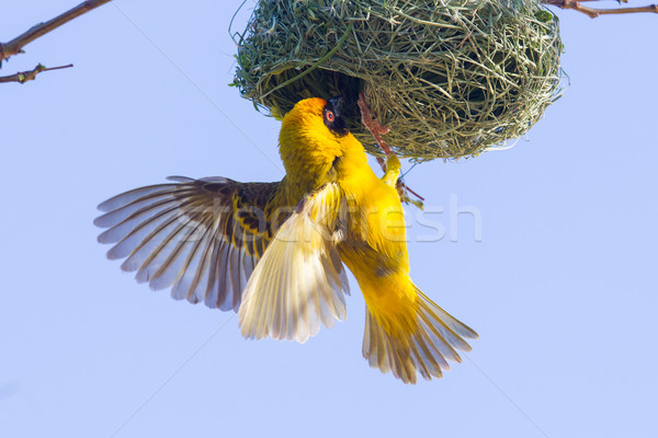 Southern Yellow Masked Weaver  Stock photo © michaklootwijk