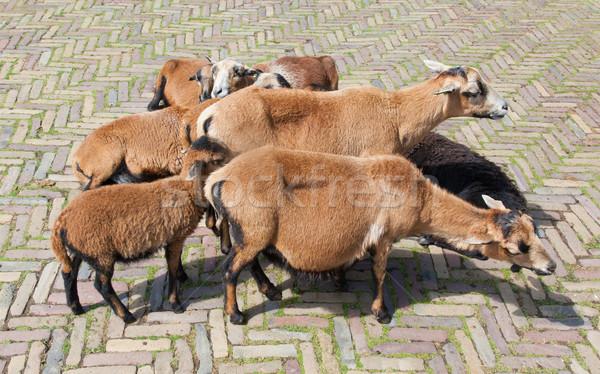 Sereg kecskék holland út természet tenger Stock fotó © michaklootwijk