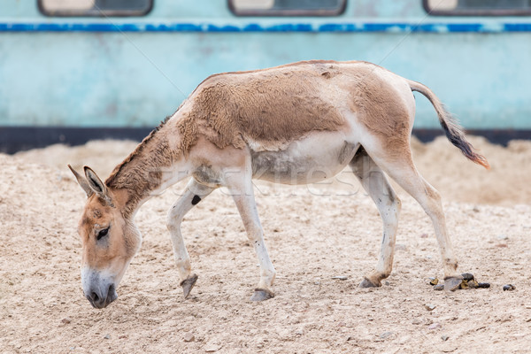 Persian onager (Equus hemionus onager) Stock photo © michaklootwijk