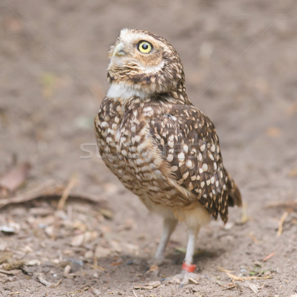 Burrowing owl (Athene cunicularia) in captivity Stock photo © michaklootwijk