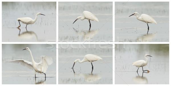 Egretta garzetta or small white heron photo series Stock photo © michaklootwijk