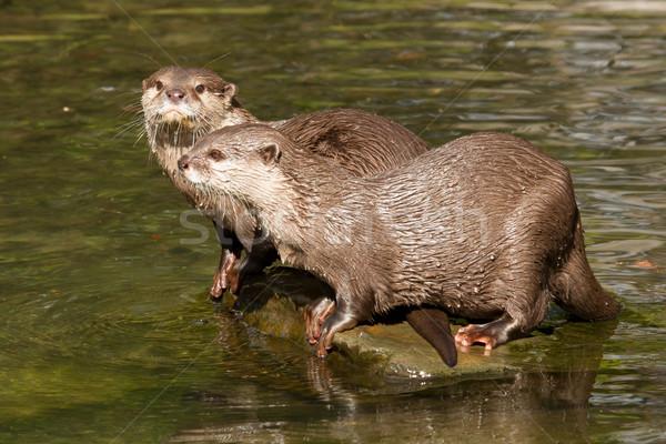 Two wet otters Stock photo © michaklootwijk