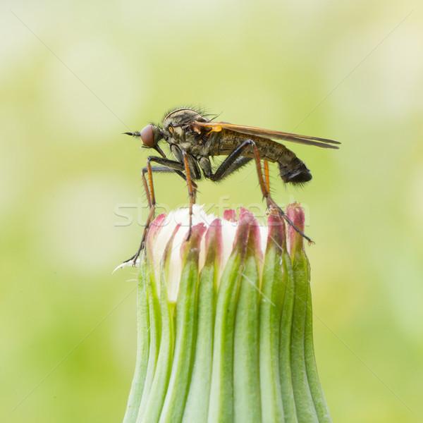Lelijk vliegen vergadering bloem gras natuur Stockfoto © michaklootwijk