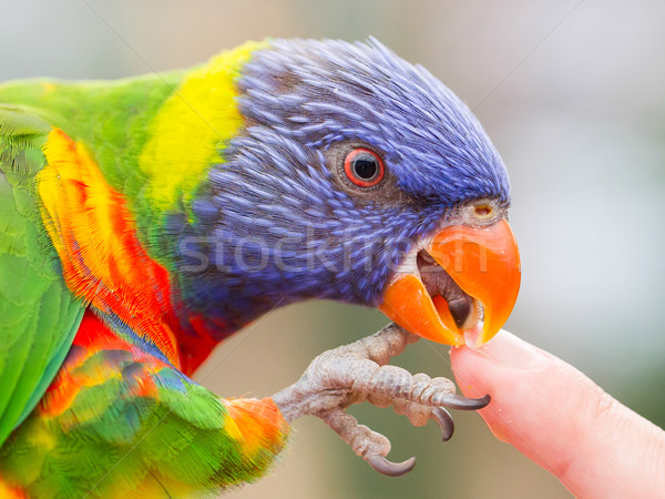 Australian Rainbow Lorikeet, Trichoglossus moluccanus Stock photo © michaklootwijk