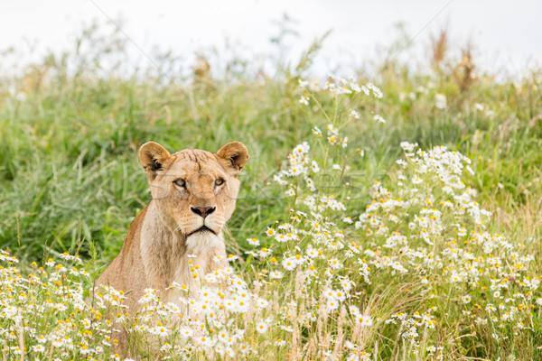 Сток-фото: женщины · лев · свежие · дерево · трава