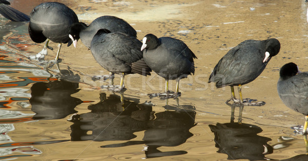 A row common coots Stock photo © michaklootwijk