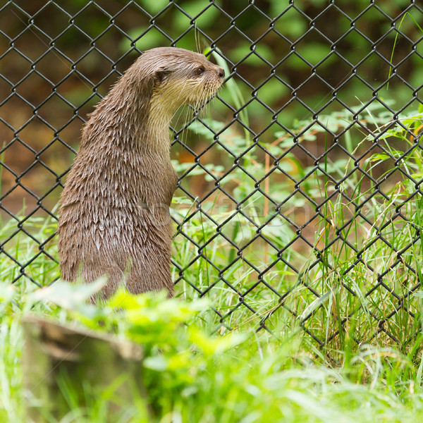 Otter in captivity is looking through the fence of it's cage Stock photo © michaklootwijk